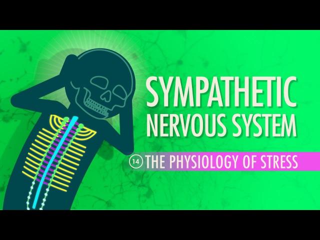 Sympathetic Nervous System: Crash Course AP 14