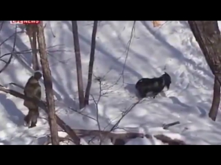 Тигр Амур напал на козла Тимура и чуть не убил его!