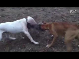 Аргентинский дог и боксёр на охоте (fighting dogs) dogo argentino and boxer - hunter
