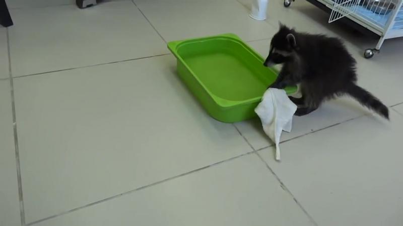 Енот моет посуду
