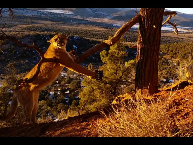 Large Cougar Released From Trap in Pine Valley Mountains