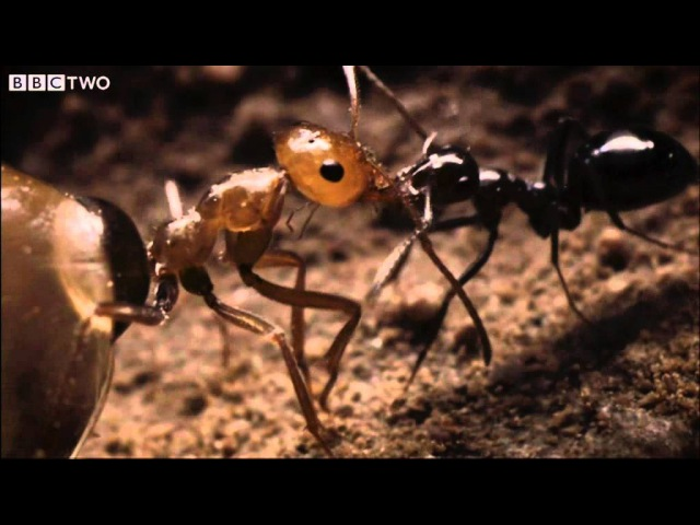 Ant colony raids a rival nest Natural World Empire of the Desert Ants BBC Two