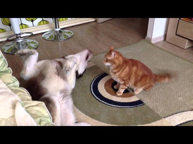 Husky Boss Cat Vasja ( хаски Босс и кот Вася )