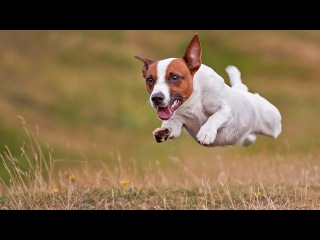 Джек рассел терьер, все породы собак, 101 dogs. Введение в собаковедение.