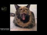 Всегда так делаю когда кот зевает