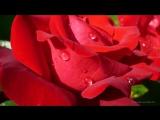 Роза - королева цветов. Красивая музыка_ релакс_ саксофон. Podryga-on-line.ru - 360P