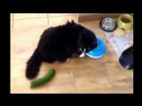 почему коты так боятся огурцов!