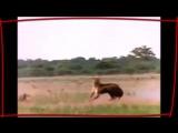 НАШИД - ЛЬВЫ ТАУХИДА Best Nasheed - LIONS Tauhid_low