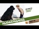 TEST: Все для животных. Ньюфаундленд - собака спасатель.