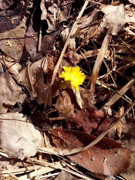 Первые цветы Мать-и-Мачехи