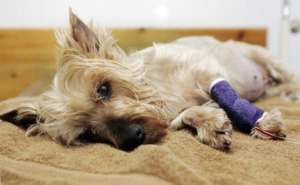 Энтерит у собак, парвовирусный энтерит у собак, симптомы, лечение PDSKhmMSefA