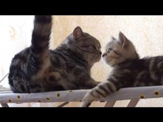 Ласковые шотландцы . Папа кот очень ласков к своему сыну-котику. Забавные и смешные кошки. Часть 6