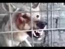 Волки против Собак. Жесткое нападение!