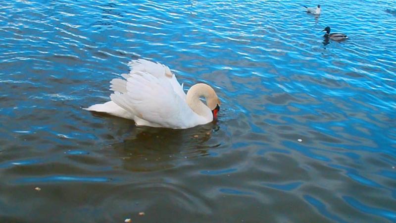 Откармливание лебедей и уток.