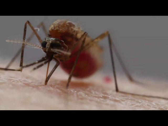 Анатомия комариного укуса