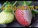 Почему гниют плоды клубники и как этого избежать?