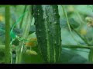 Выращивание огурцов. Моя огуречная плантация