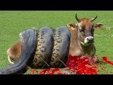GIANT ANACONDA ATTACKS COW | ANACONDA ATTACK ANIMAL | ANACONDA ATTACK AMAZING VIDEO