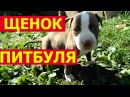Щенок питбуля - нрав и социализация собаки