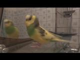Говорящий волнистый попугай перед зеркалом