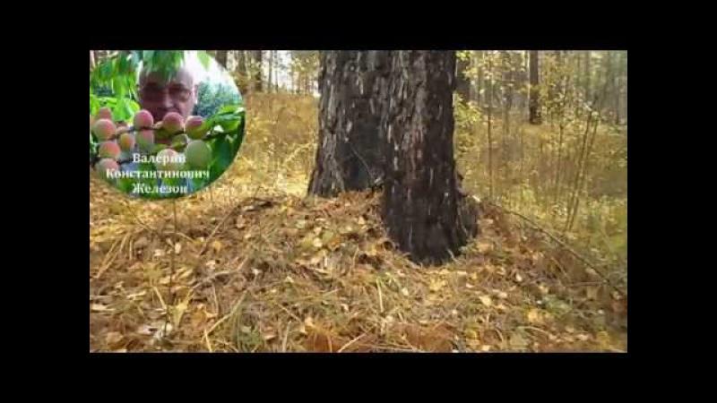 1 Видеоуроки В Железова №1 Посадка в лесу и в саду Подвои подарок от Бога часть 1