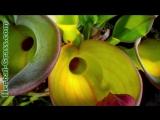Гелиамфора - плотоядное растение хищник. дикий мир и поведение животных в нем.