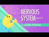 The Nervous System, Part 2 - Action! Potential! Crash Course A&ampP #9