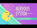 Kids' English | The Nervous System, Part 2 - Action! Potential!: Crash Course A P 9