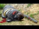 Most Amazing Wild Animal Attacks - Giant Anaconda vs Gorilla vs Baboon,Monkey,Car – Shari