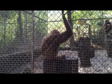 Monkey sing and dance