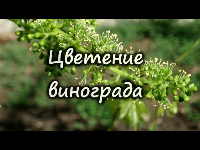Цветение винограда почему виноград нельзя поливать во время цветения