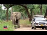 Раненный слон пришёл за помощью к людям