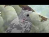 «голуби» под музыку Валерий Власов - Голуби целуются на крыше. Picrolla