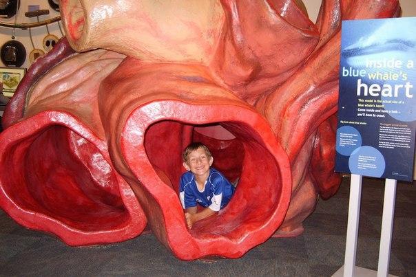 Сердце голубого кита такое огромное, что через его артерии может проплыть челове...