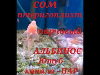 Аквариумные рыбки Сом Птеригоплихт Парчовый.Альбинос