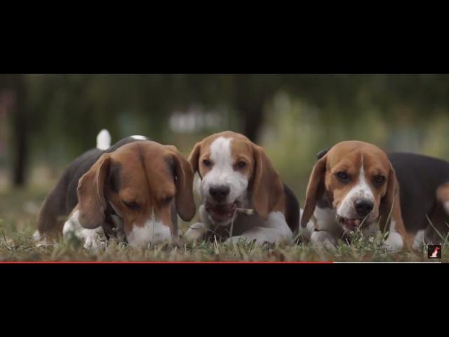 Бигль ➠ Узнайте все о породе собаки