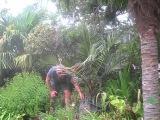 Jubaea chilensis Palm  Salt Spring Island, Canada