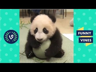 Baby Panda Compilation | Cutest Baby Panda Videos Of All Time || Funny Vines