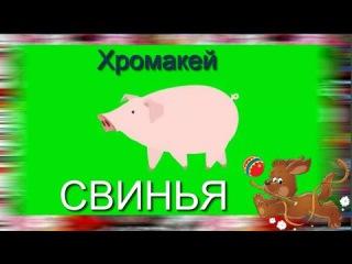 37. #Футаж_на_хромакее. #свинья. Футаж для #создания_видео