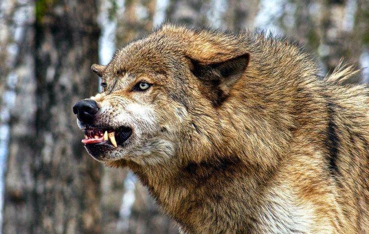 В Ростовской области взбесившийся волк покусал двоих человек