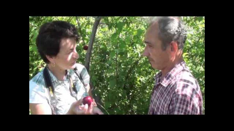 Алыча или слива русская в Средней полосе. Сайт Садовый мир