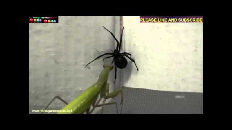 Mantide religiosa contro ragno vedova nera - Praying Mantis against VS black widow spider