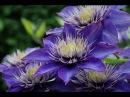 Дача Цветники Ассортимент растений синего цвета Blue flowers