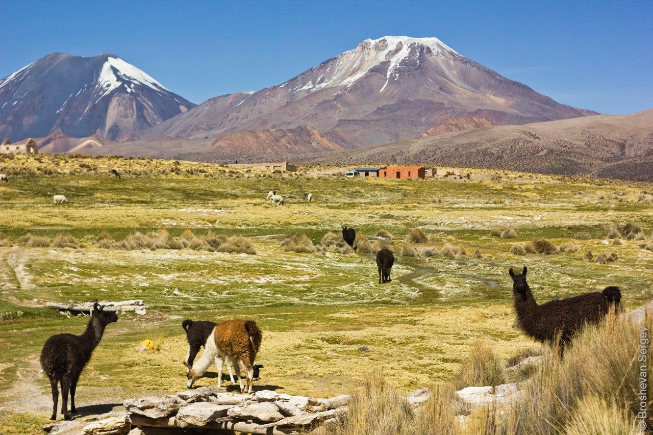 Ламы на склонах вулкана Сахама в Боливии