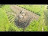 Гнездо Аистов с птенцами.