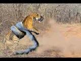 Giant ANACONDA attacks TIGER - Animal Fight Python vs Tiger vs Jaguar Real Fight
