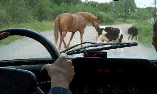 Большинство ДТП в Зеленчукском районе связанны с  наездом на животных в темное время суток