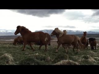 Дикие лошади очень дружелюбны в Исландии