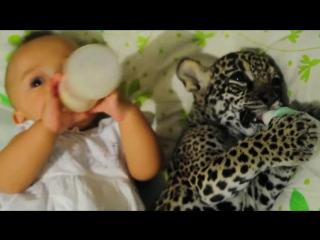 Ребёнок и маленький ягуар вместе лежат и едят / a baby jaguar drank his bottle with a little girl
