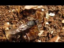 Pseudoneoponera rufipes vs. Nauphoeta cinerea